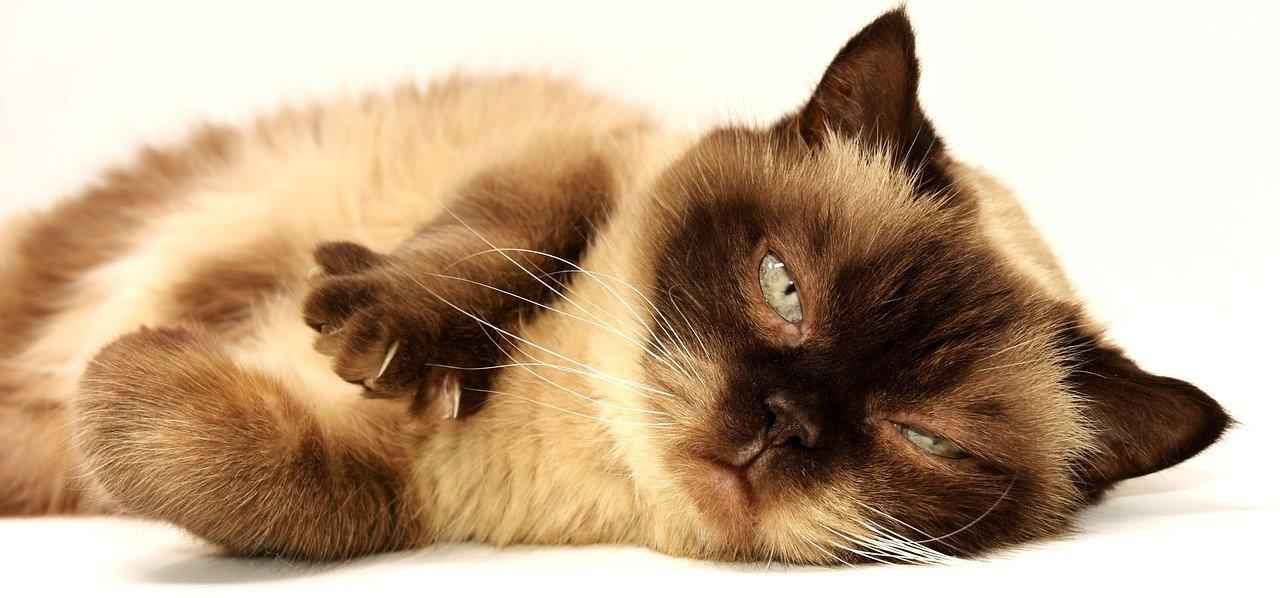Quels sont les effets du CBD sur les chats?